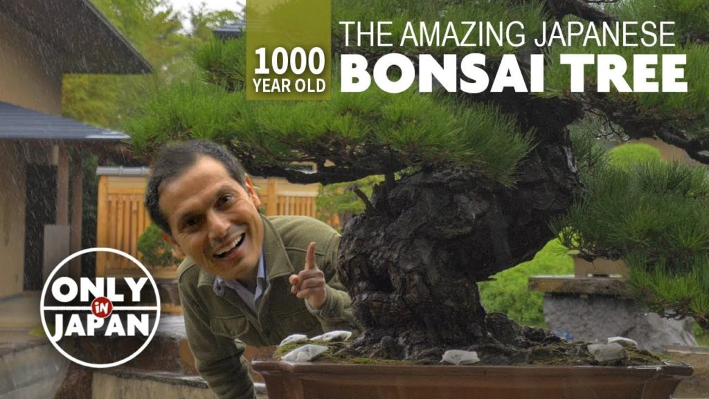 1000 Year Old Japanese Bonsai Tree Adventure